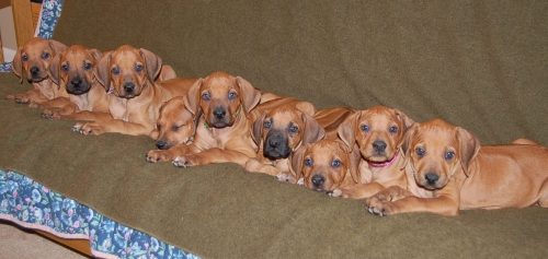 Ridgeback pups line up on a futon