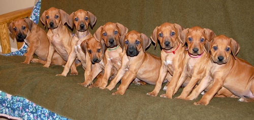 Amazing Rhodesian Ridgeback Black Adorable Dog - CouchPupies1  Trends_685446  .JPG