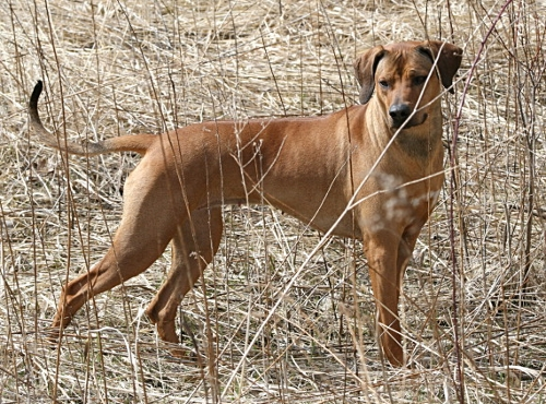 Rhodesian Ridgeback standing in the field