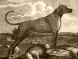 Early Rhodesian Ridgeback