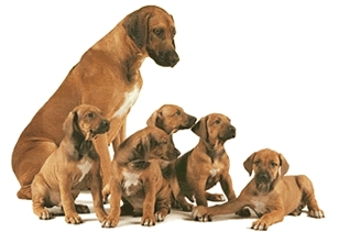 Mom and her litter of Rhodesian Ridgeback puppies