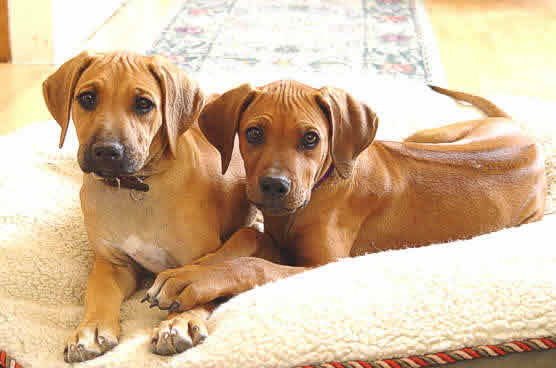 Rhodesian Ridgeback puppies from a previous litter
